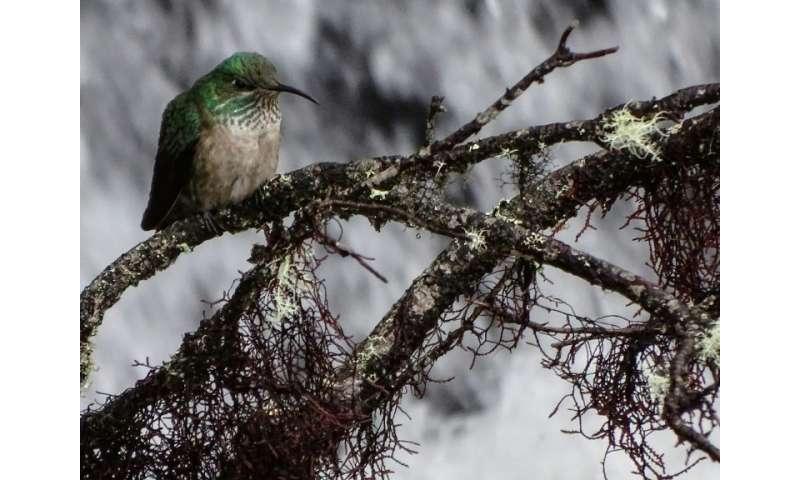 The bird braves cold temperatures in a small highland area of Ecuador