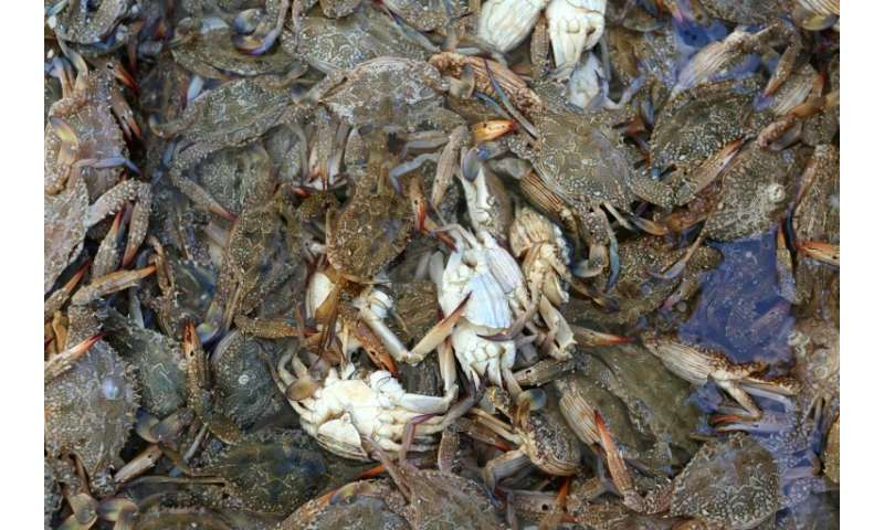 The blue crab was once a native of the Red Sea but first showed up in the Gulf of Gabes off Tunisia's coast in 2014
