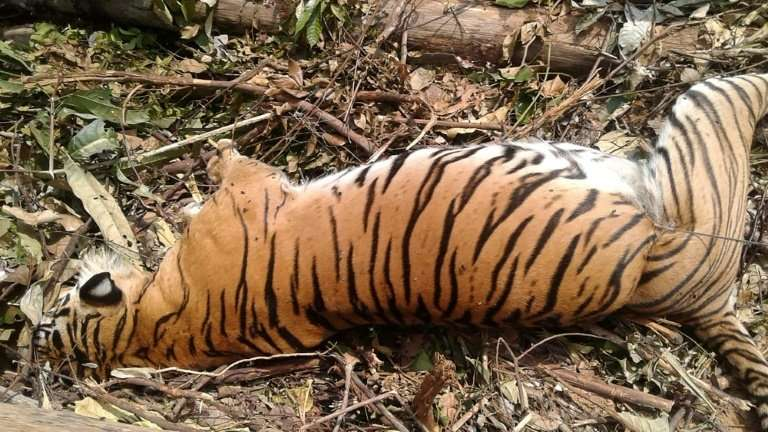 The carcass of a critically endangered Sumatran tiger which died after being caught in a pig trap near Pekanbaru on the island o