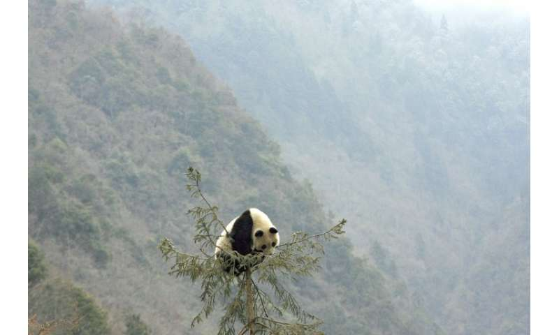 The Chinese park plans are aimed at enabling wild pandas that are currently isolated in several different areas of Sichuan, Shaa