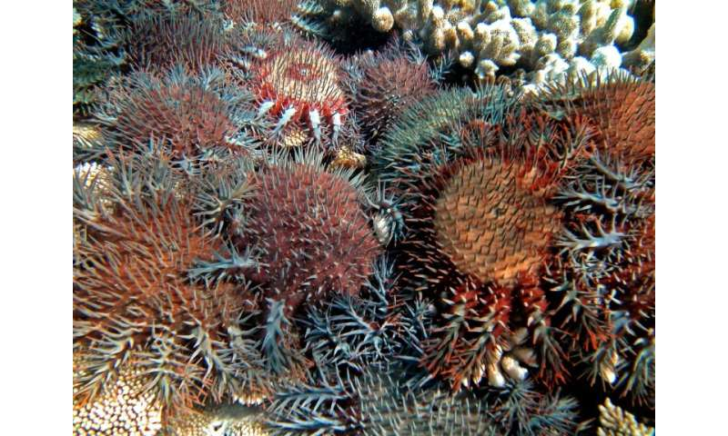 The coral-eating starfish are naturally occurring but have proliferated due to pollution and agricultural run-off