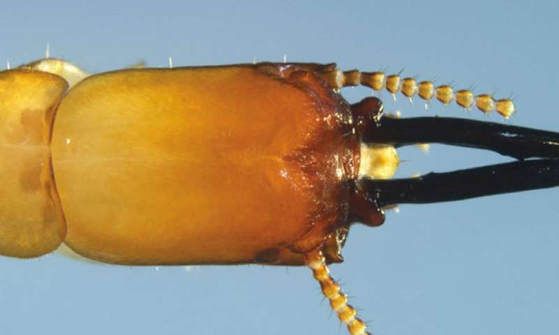 The first drywood termite known to use snapping stick-like mandibles to defend its colony