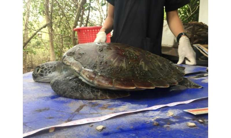 The green turtle washed up on a beach in Chanthaburi province on June 4 and died two days later