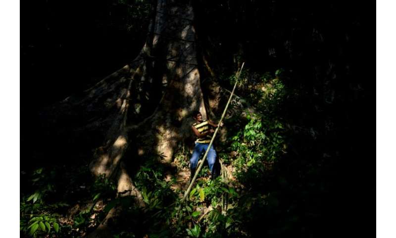 The Malaysian honey-hunters perch precariously on high branches as they raid the hives