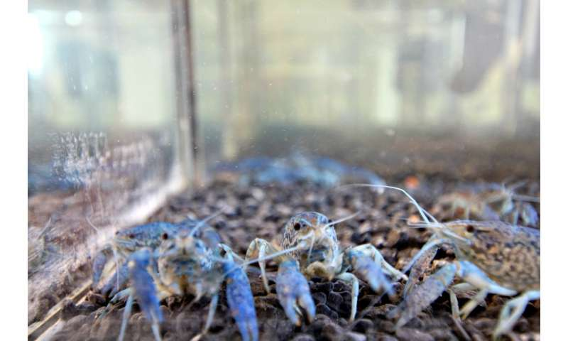 The marbled crayfish have established themselves in Narva power plant