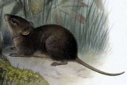 Alston's brown mouse