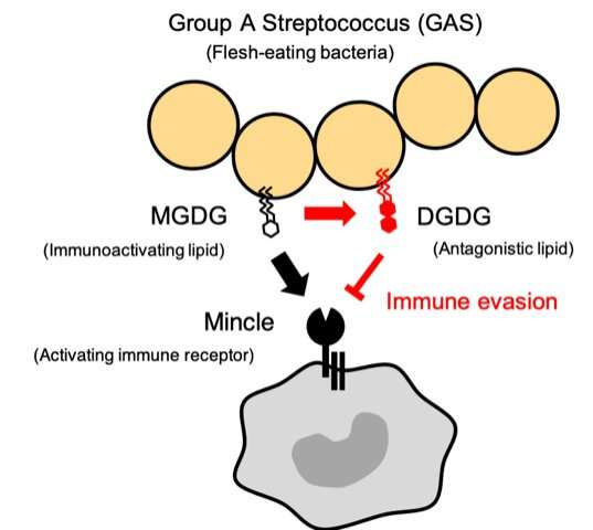 The Mincle receptor provides protective immunity against Group A Streptococcus