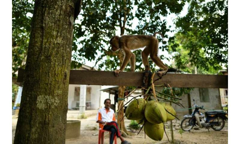 The monkeys are trained to clamber up palm trees and pick coconuts