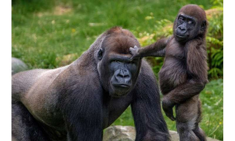 The more male gorillas look after young, the more young they're likely to have