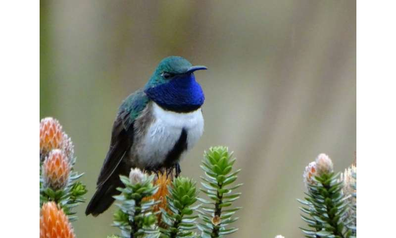 The new hummingbird species Oreotrochilus cyanolaemus is said to be in danger of extinction