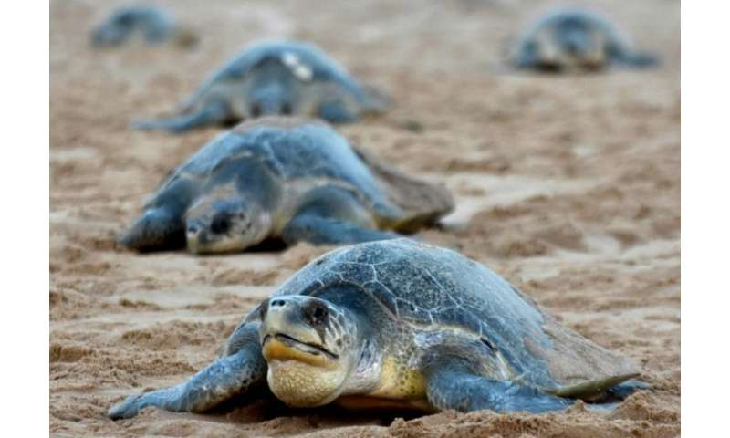 The olive ridley turtle is also known as Pacific ridley. They are a medium-sized turtle species usually found in warm and tropic