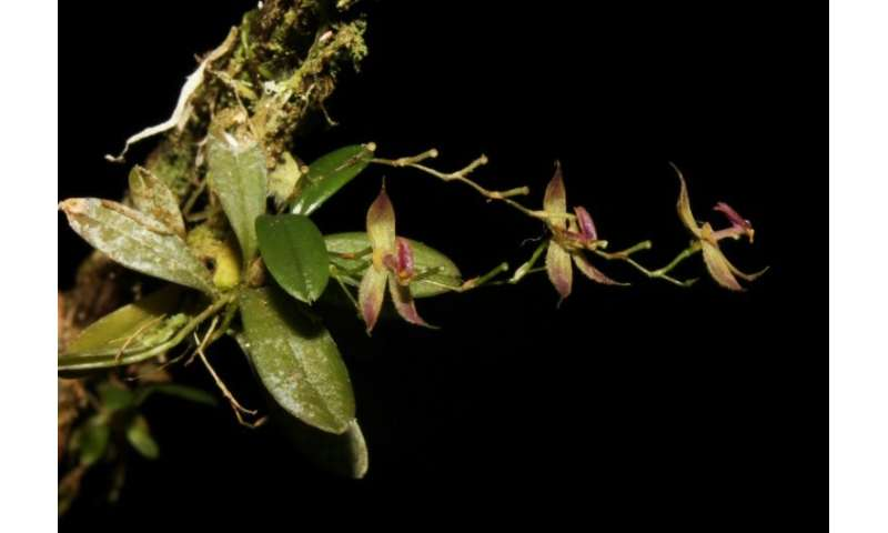 "The recently discovered orchid species ""Andinia tingomariana,"" found by a group of Peruvian botanists in the central A"