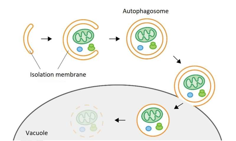 The role of the Atg2 protein in tethering pre-autophagosomal membranes to the endoplasmic reticulum