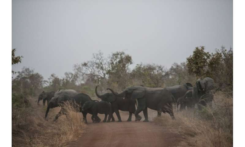 The savannah elephant population is down to about 352,000 from 1.3 million in 1979