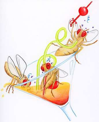 The social life of the humble fruit fly revolves around alcohol