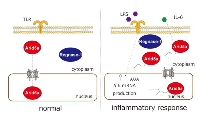 The subcellular dynamics of RNA stabilizing molecule in response to inflammation