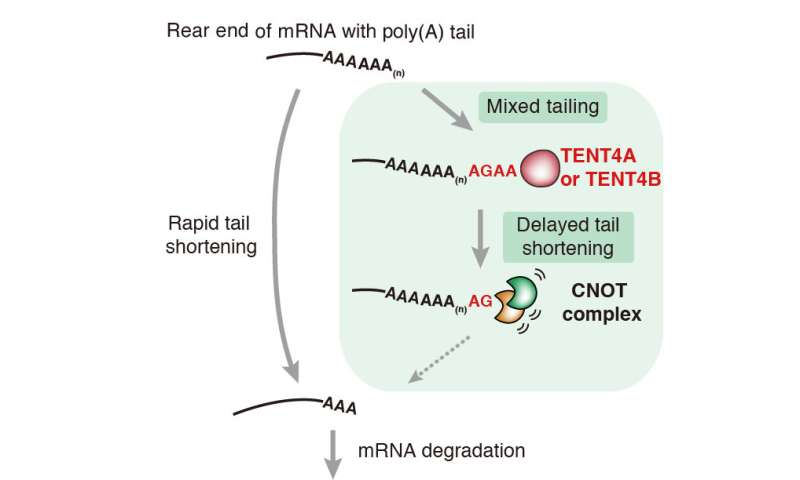 The tale of mRNA mixed tail