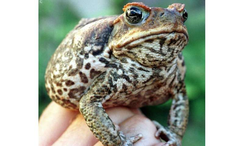 The toxic cane toad was introduced to Australia in 1935 to fight beetles ravaging sugar cane fields