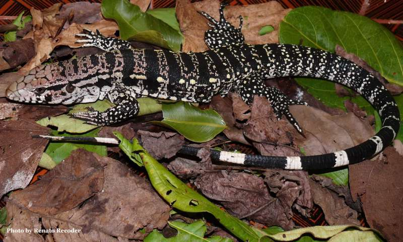 The warm and loving tegu lizard becomes a genetic resource
