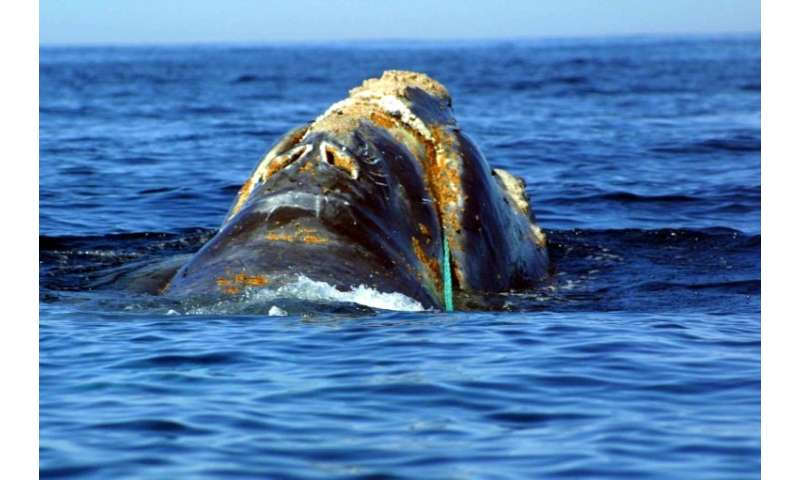 This endangered right whale in the North Atlantic is entangled in a heavy plastic fishing link from Cape Cod, Massachusetts