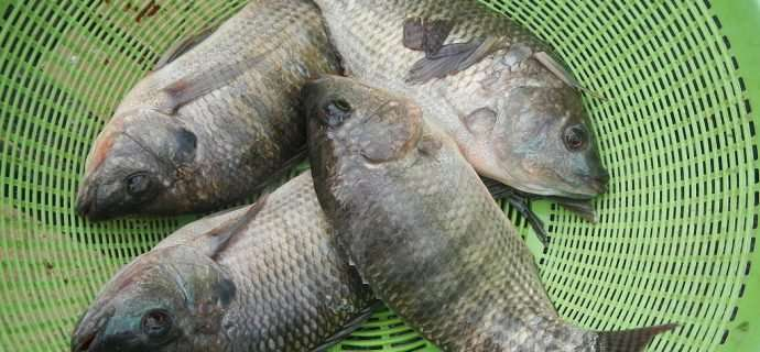 Tilapia—freak farmed fish or evolutionary rock star?