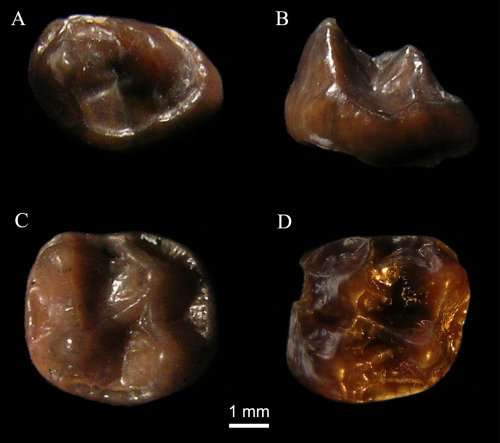 **Tiniest ever fossil ape discovered in Kenya