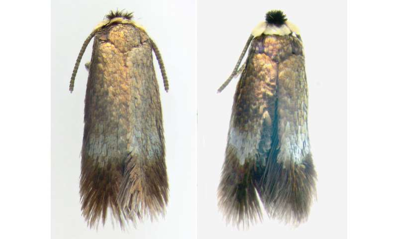 Tiny moth from Asia spreading fast on Siberian elms in eastern North America