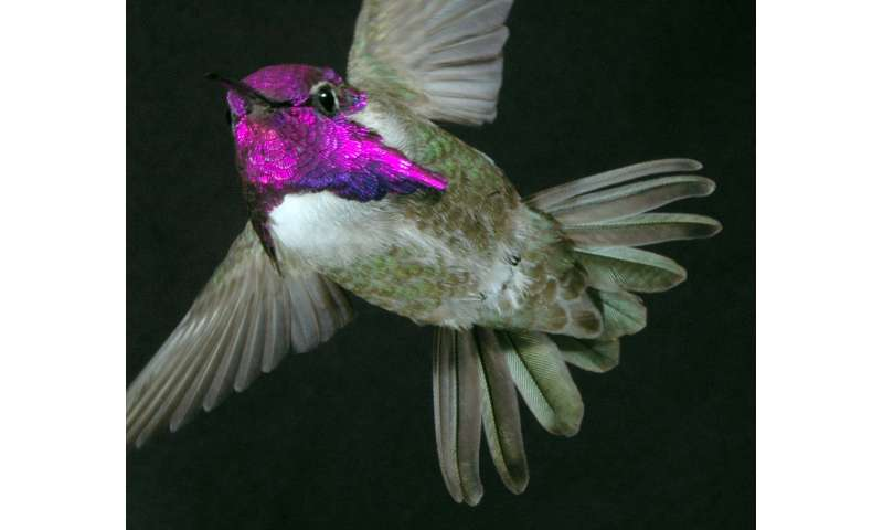 To impress the females, the shore hummingbirds