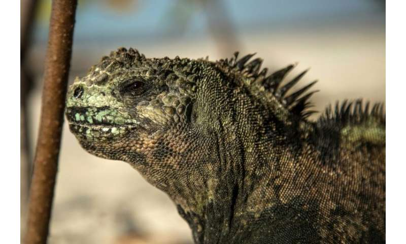 Tourists come to the Galapagos to see the flora and fauna, like this marine iguana (Amblyrhynchus cristatus)