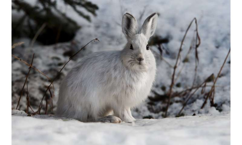 Toxic leftovers from gold mine found in snowshoe hares