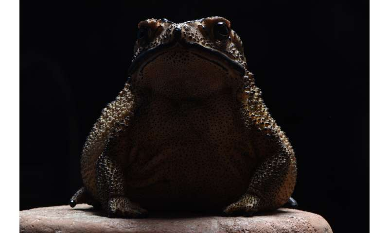 Toxic toad invasion puts Madagascar's predators at risk, genetic evidence confirms