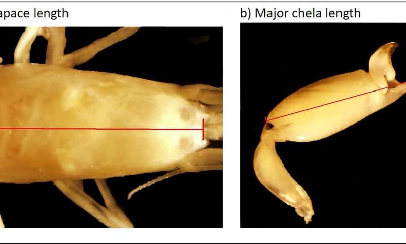 Tradeoffs between weaponry and fecundity in snapping shrimp queens vary with eusociality