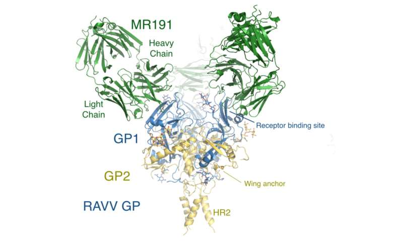 TSRI scientists discover workings of first promising Marburg virus treatment