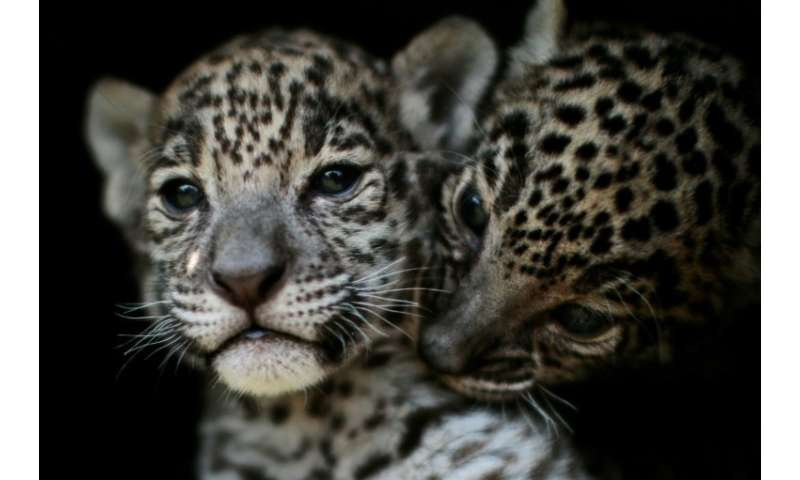 "Two jaguar cubs are pictured at the ""Reino Animal"" zoo in Teotihuacan, Mexico state, on April 27, 2018; the country's"