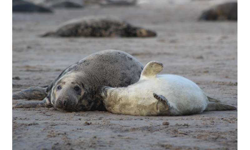 UAlberta biologists show that female seals have consistent personalities