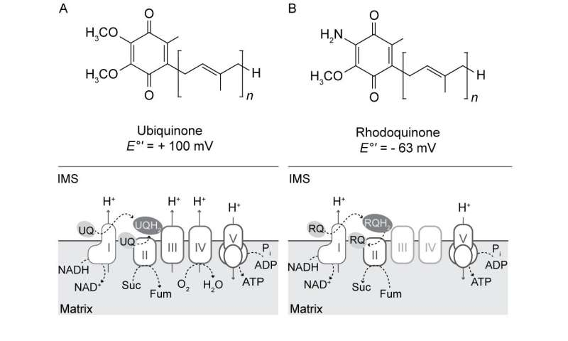 Ubiquinone and Rhodoquinone