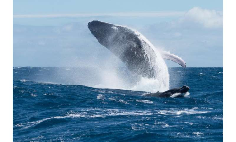 UB psychologist proposes whales use song as sonar