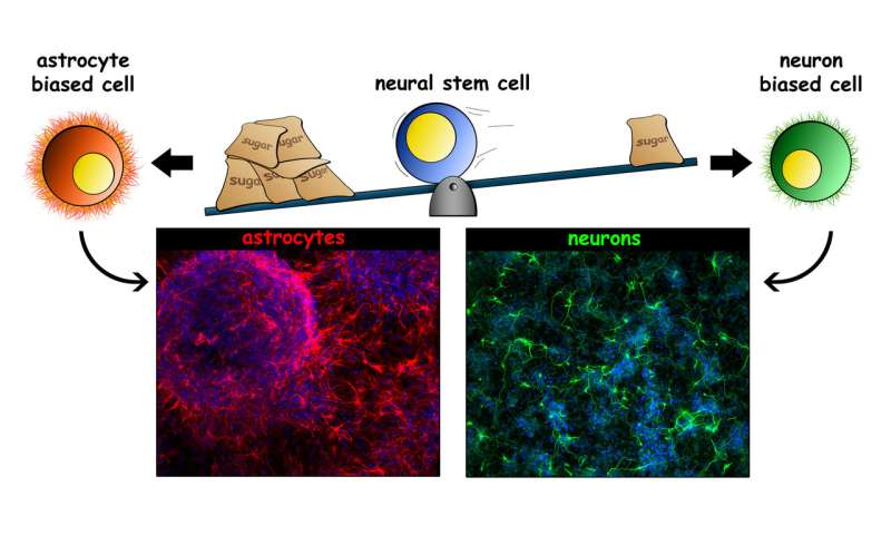UCI-led research identifies properties of stem cells that determine cell fate