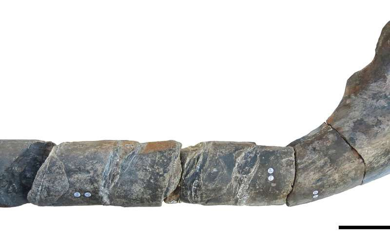 UK giant ichthyosaur is one of the largest animals ever
