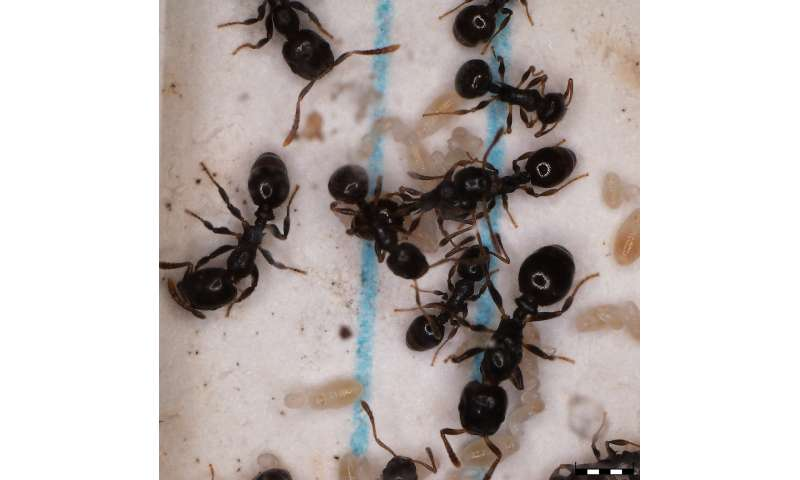 Unique gene expression patterns underlying ant slavemaker raiding and host defensive phenotypes