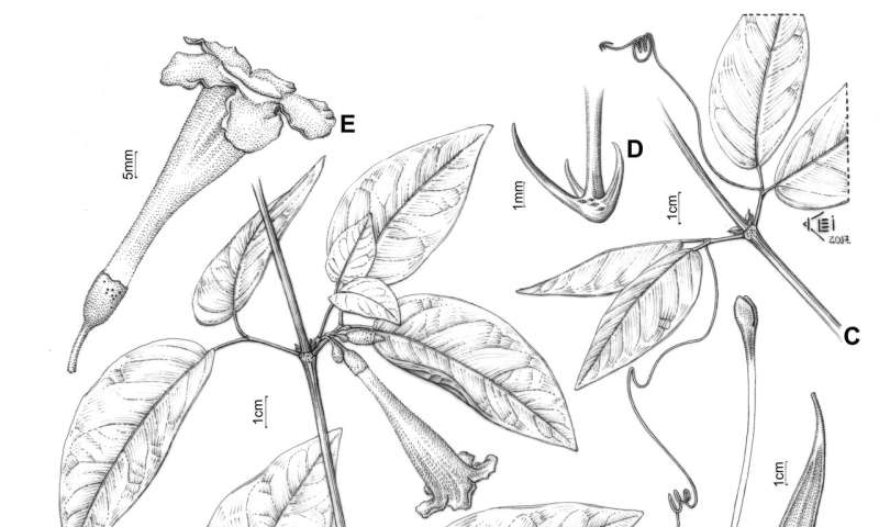Untangling the complex taxonomic history of a Neotropical liana genus