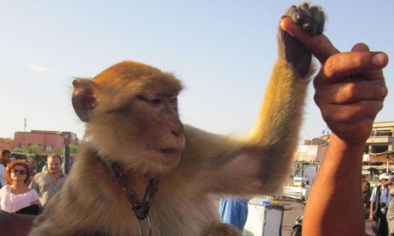 Using endangered barbary macaques as photo props could negatively impact Moroccan tourism