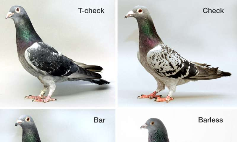 Variations of a single gene drive diverse pigeon feather patterns