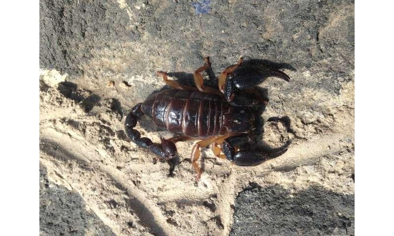 Venom shape untangles scorpion family tree