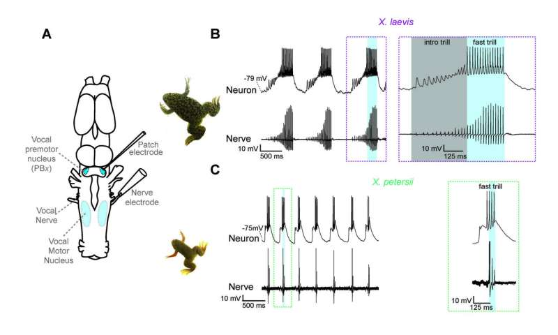 Vocal neurons encode evolution of frog calls