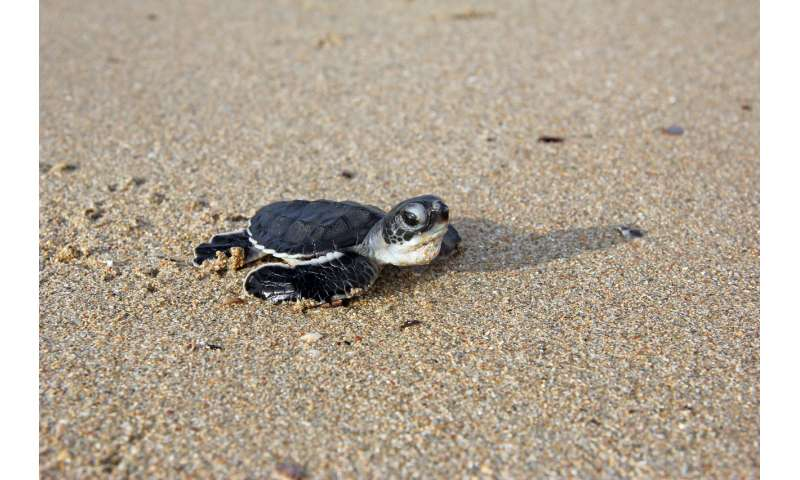 Warming warning over turtle feminization