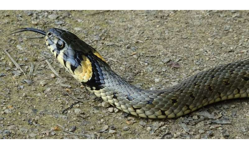 Warmth-loving grass snake survived the Ice Age in Central Europe