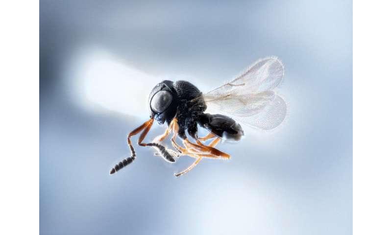 Wasp warriors—entomologists on samurai mission to slay stink bugs