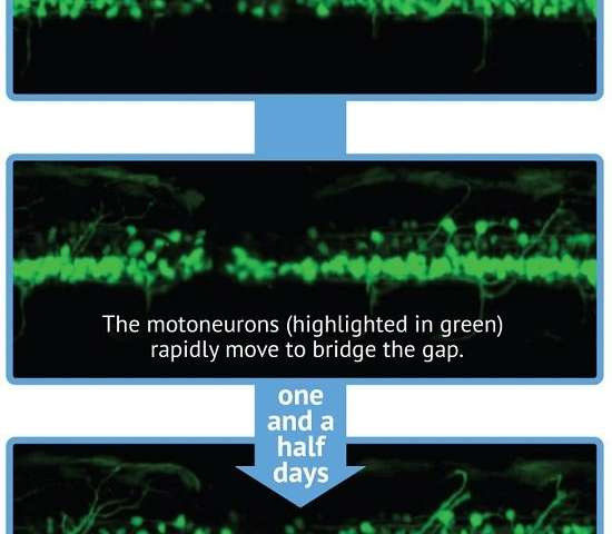 Watching stem cells repair spinal cord in real time