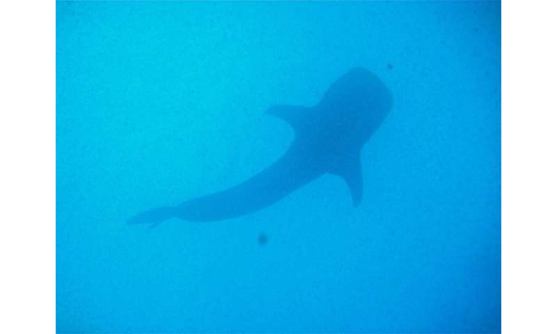 Whale shark logs longest-recorded trans-Pacific migration
